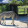An Odd Couple - Zebra and Vulture