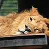 Lion Catching Rays