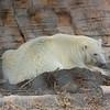 Polar Bear Hudson