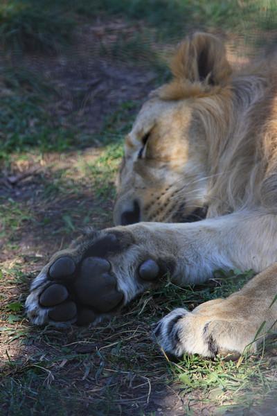 Lion Paw