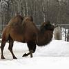 """Camel in """"Winterpeg"""""""