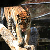 Tiger Eying Prey