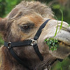 Luther the Camel Having a Snack