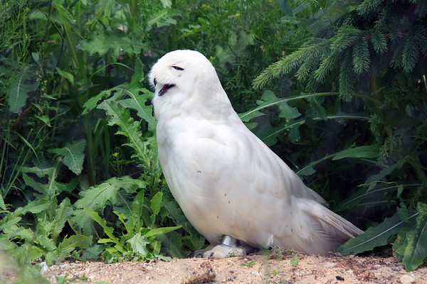 Snowy Owl on Hot Day