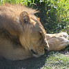 Lion Snoozing