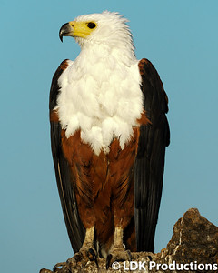 Regal Fish Eagle