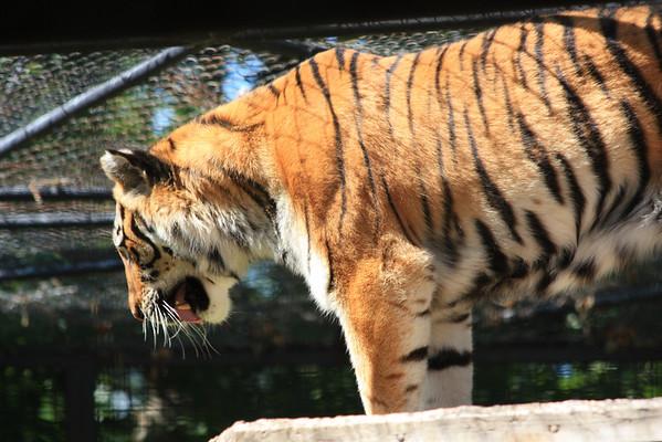Tiger Peering Down