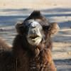 Camel Smiling!