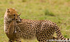Young Cheetah with Baby Impala