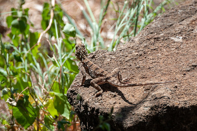 Agama lionotus