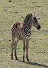 Equus quagga, (former Equus burchelli)