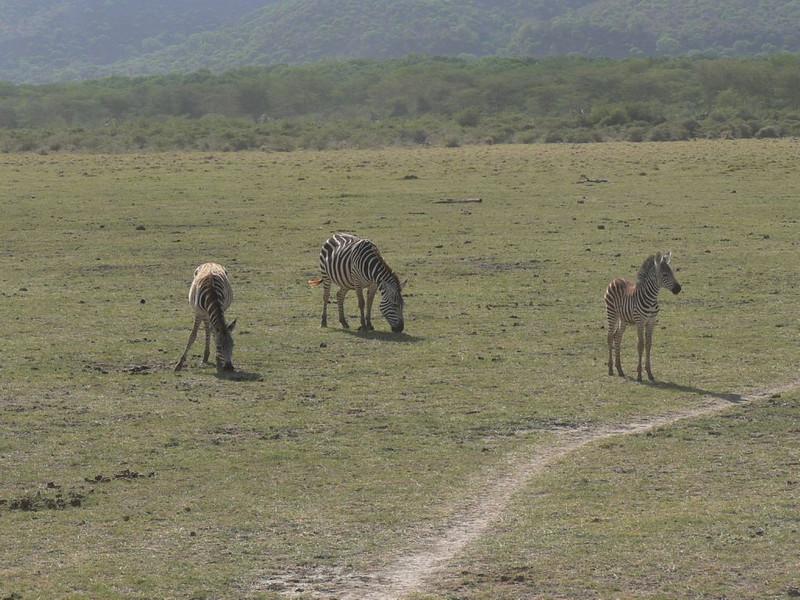 Equus quagga (former Equus burchelli)