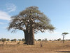 Adansonia digitata