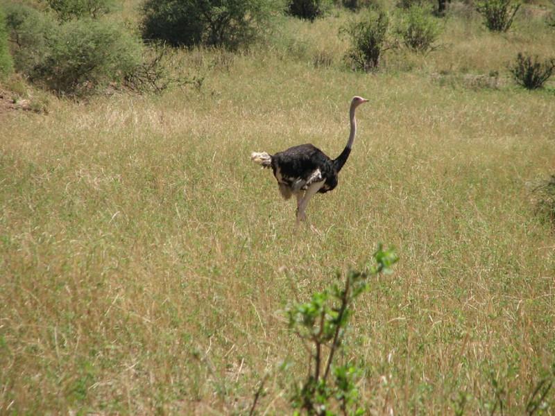 Struthio camelus ssp. massaicus