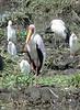 Bubulcus ibis & Mycteria ibis