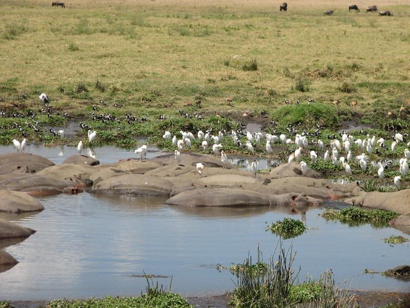 Hippopotamus amphibius & Bubulcus ibis