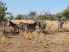 Equus quagga ssp. burchellii