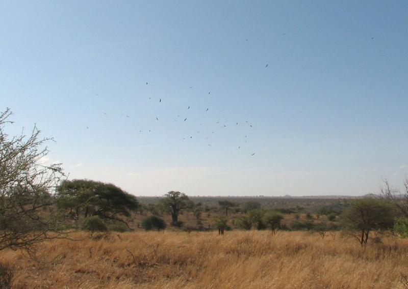 Gyps africanus