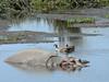Hippopotamus amphibius & Alopochen aegyptiacus