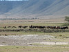 Masai herds his cattle