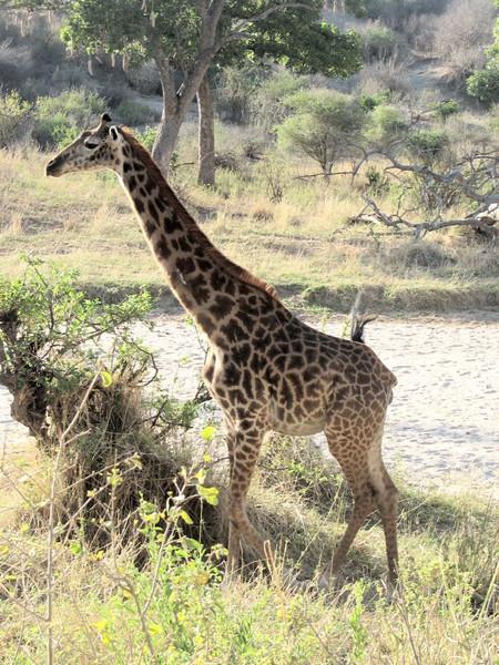 Giraffa tippelskirchi