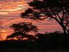 Sun rise & Vachellia tortilis