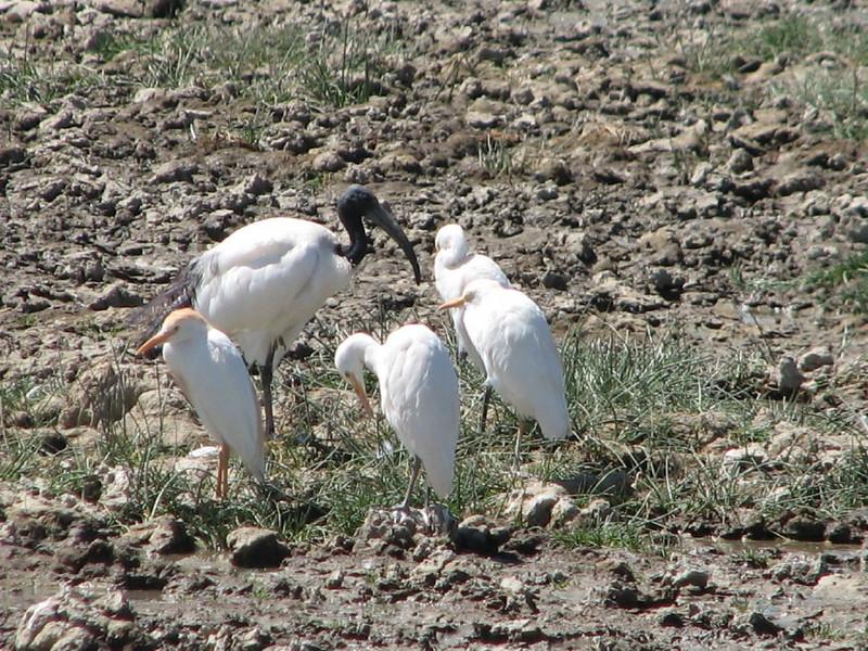 Bubulcus ibis & Threskiornis aethiopicus