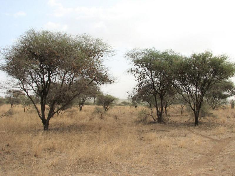 Acacia tree with nests of Speke's Weaver,