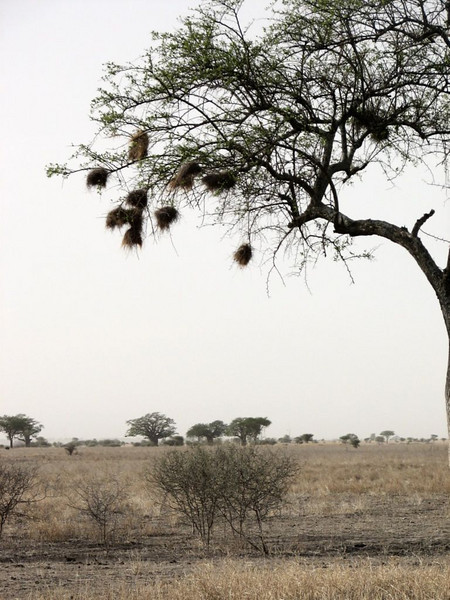 Acacia tree with nests of Weavers