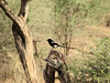 Corvinella melanoleuca, syn. Urolestes melanoleucus