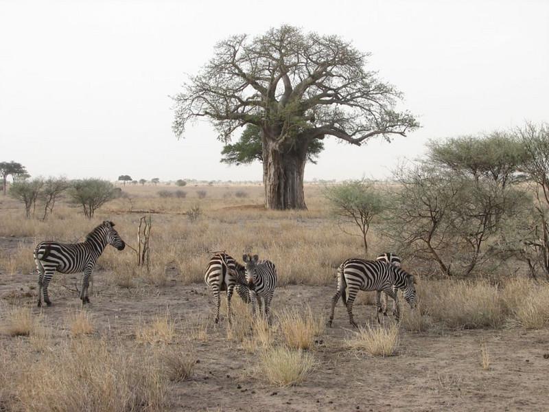 Equus quagga & Adansonia digitata