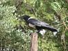 Corvus albus