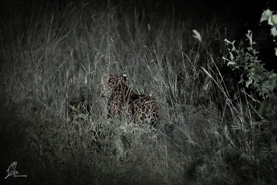 There's something very mysterious about a leopard sneaking away like that.