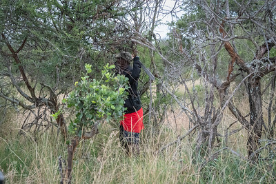 Francis opening up the bushes so we can drive through in search of the Grevy's Zebra.