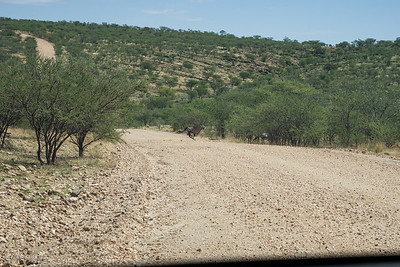 Always drive carefully, you never know what crosses (Gemsbok).