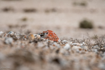 Namib Sun lichen (Caloplaca)
