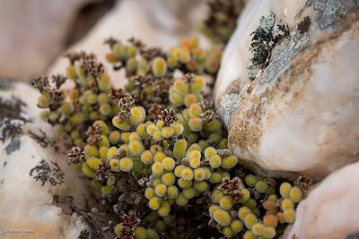 Drosanthemum luderitzii