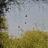 Weaver nests at Lake Manyara