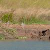 Burhinus vermiculatus & Crocodylus niloticus