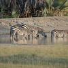 Zebra drinking at Maramboi Tented Camp