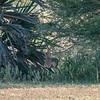 Madoqua kirkii