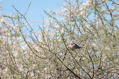 Spilopelia senegalensis