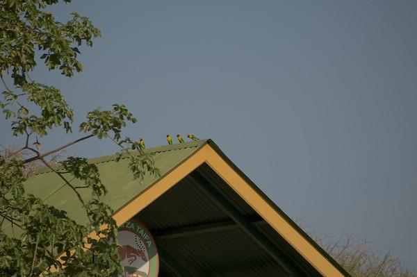 Lovebird at the gate of Tarangire NP