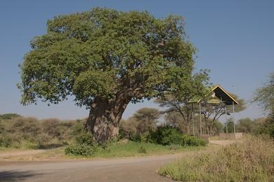 Large Boabab tree near gate of Tarangire NP