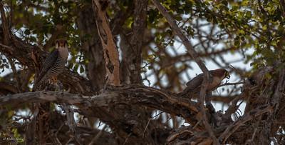 Falco ruficollis
