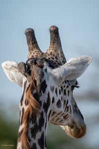 Giraffa camelopardalis tippelskirchi &  Buphagus erythrorynchus