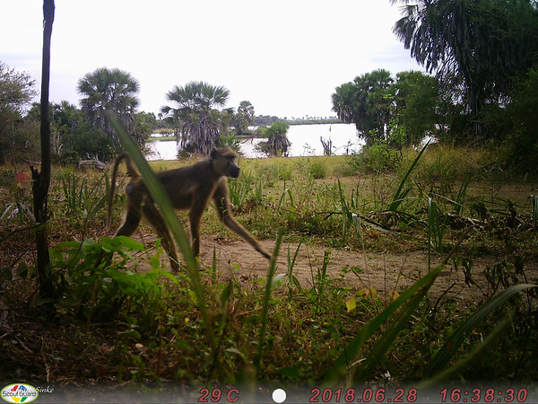 Camera-trap: Baboon came for a visit but we were out on a drive