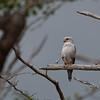 Falco dickinsoni