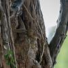 Paraxerus flavovittis