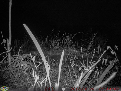 Camera-trap: Can you see the Genet ?